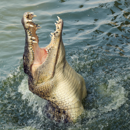 Alligator Lesson