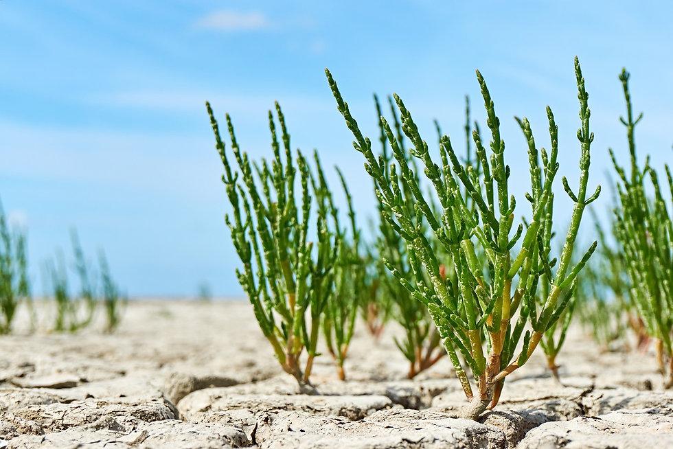 Salicornia auf vertrocknetem Boden kompr