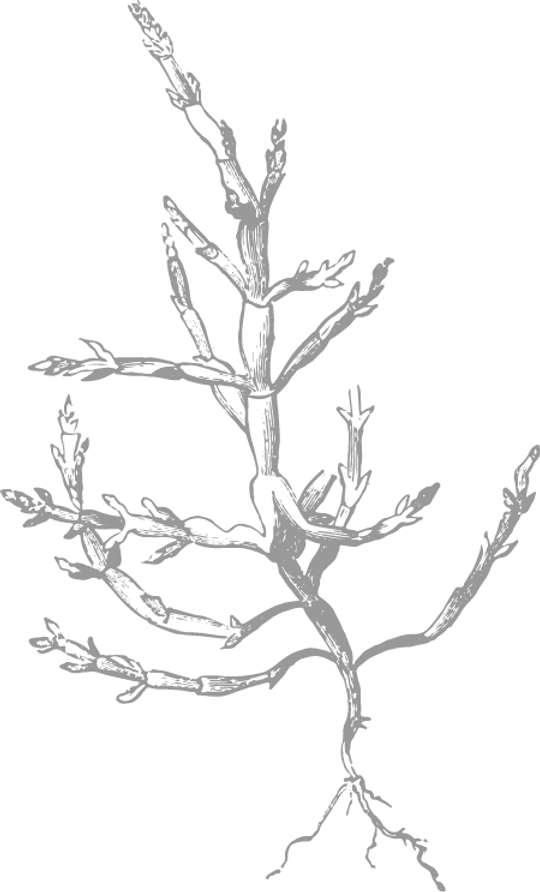 Salicornia stil. transp. 40% opa. links.