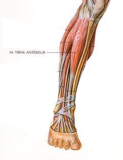Tibial Antérieur