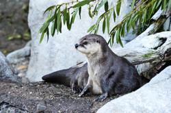 Loutre du Zoo de San-Francisco