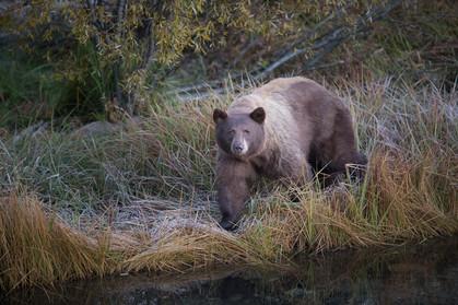 Lake Tahoe Brown Bear