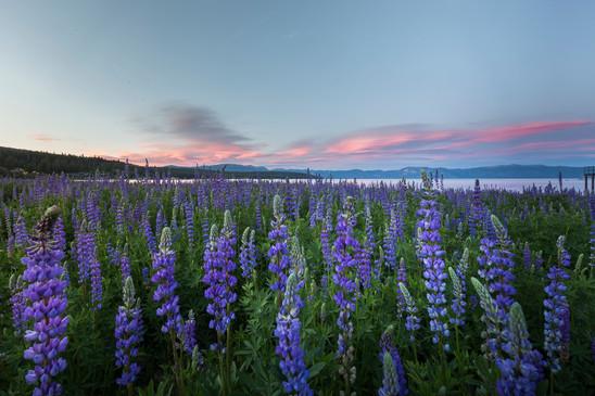 Tahoe City lupine bloom 2016