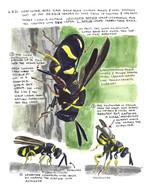 Leucospis affinis Wasp