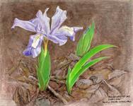 Dwarf Crested Iris Journal Page