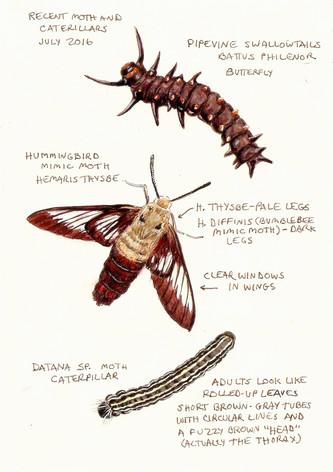 Moth and caterpilars