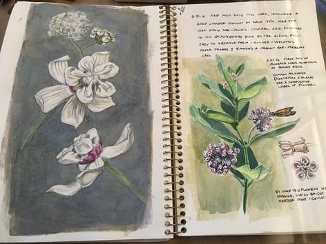 Milkweed pages