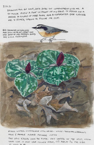 Trillium and Red-breasted Nuthatch