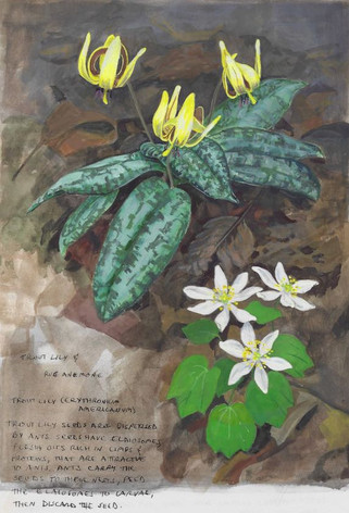 Trout Lily and Rue Anemone