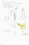 Yellow Bellwort