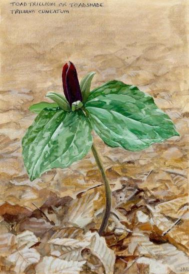 Toad Trillium