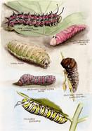 Recent Caterpillars
