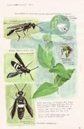 Pollinators on Mountain Mint