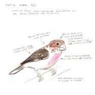 Rose-breasted Grosbeak memory drawing