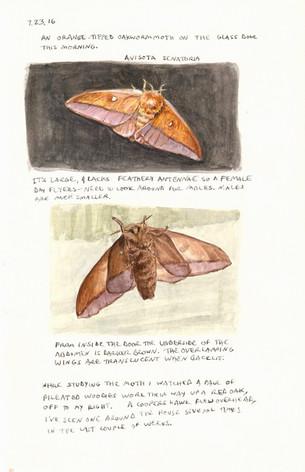 Orange-tipped Oakworm moth