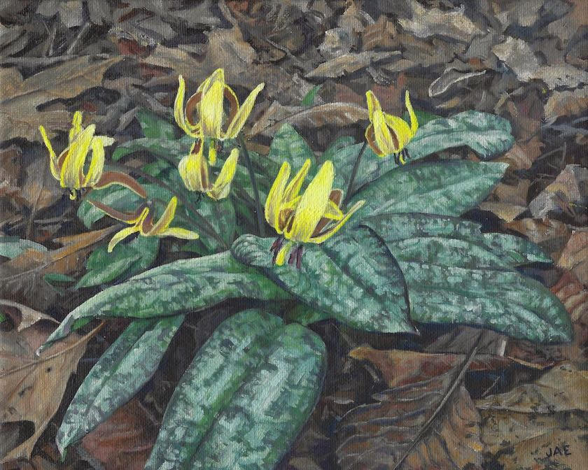First Trout Lilies