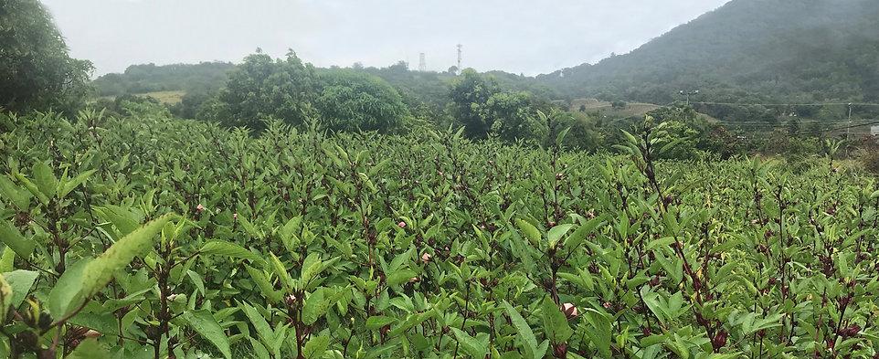 hibiscus_crops1.jpg