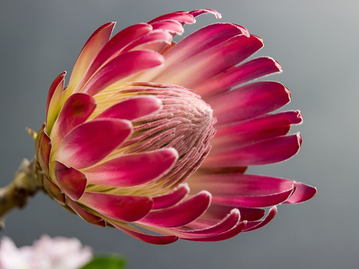How to Use King Proteas in Bouquets