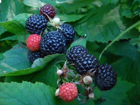 blackberries.jpg