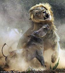 lion-with-warthog.jpg