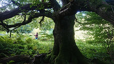 Old Oak trees at Almorness.JPG