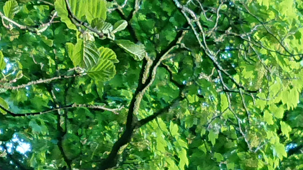 Green canopy of deciduous trees