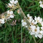Blackthorn (Sloe)