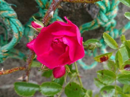 Sweet wee rose