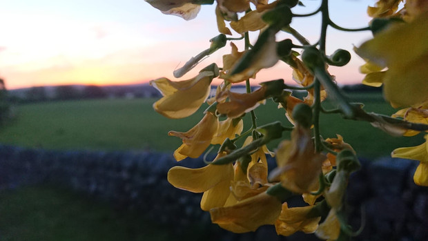 Laburnam by dawn- Auchencairn