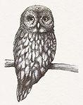owl in pen drawing.jpg