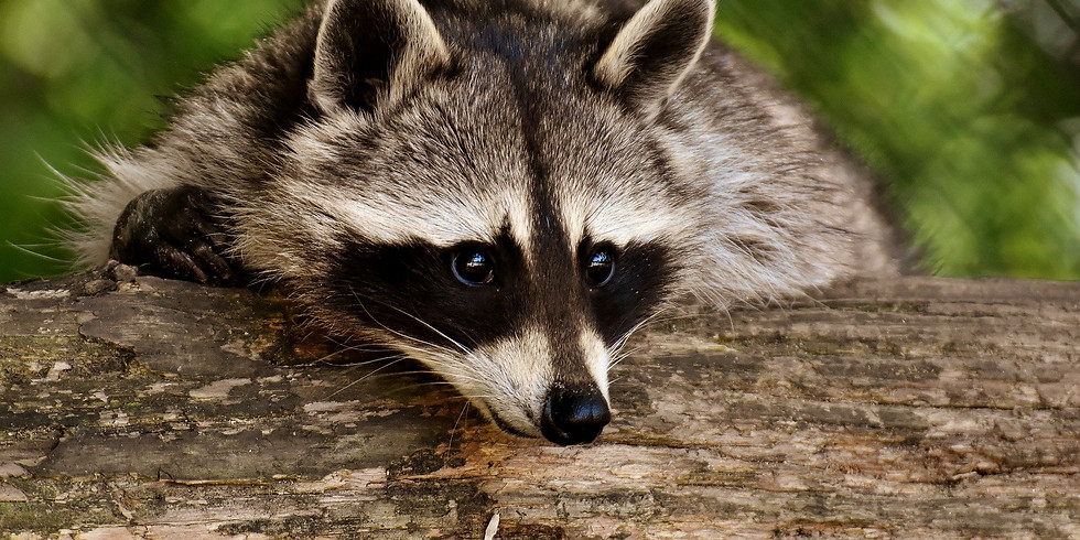 ONLINE - Mindful Charcoal Drawing Workshop - Raccoon