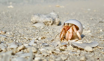 Maldives Wildlife Beach Hermit Crab Animal Shell Seashell White Beach Macro Sunny Day.jpg