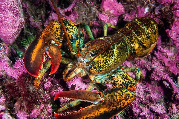 American lobster underwater foraging for food on rocky bottom..jpg