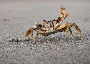 brown crab near shore_edited.jpg