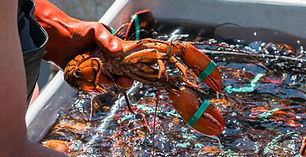 A fisherman is holding a live lobster over one of the bins that he is sorting the lobster