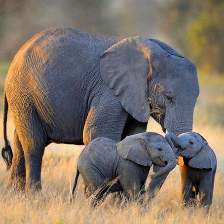 A memory like an elephant