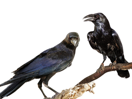 What's up with the crows?
