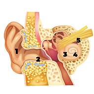 diagram of ear.png