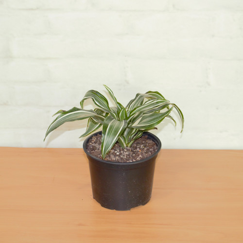 Buy Exotic Plants | Auckland | Exotic Planters on house plants outdoors, house plants low light, house plants pets, house plants dogs, house plants that clean the air, house plants blog, house plants with long green leaves, house plants design, house plants flowers, house plants care, house plants food, house plants guide, house plants house, house plants books, house plants gifts,
