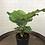 Thumbnail: Calathea Orbifolia