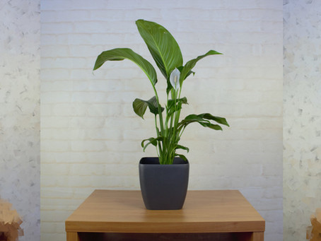 Tips for beautiful and healthy Peace Lilies