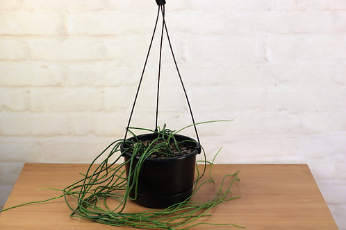 "Rhipsalis Baccifera ""Spaghetti Cactus"""