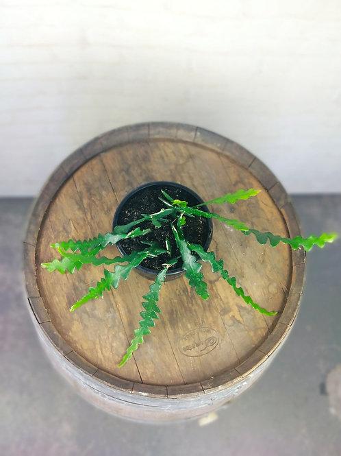 Fishbone Cactus - Cryptocereus Antonyanus