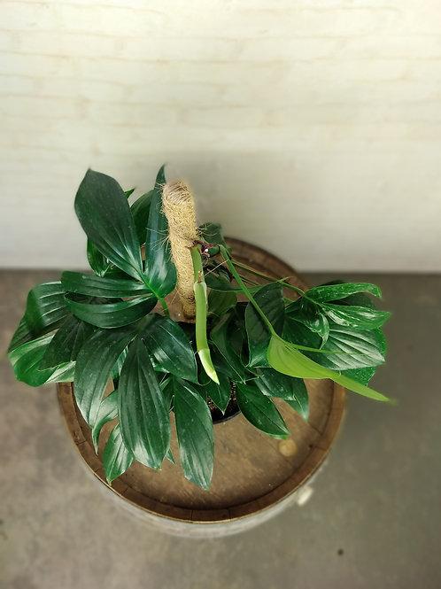 Epipremnum Pinnatum