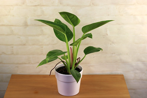 Philodendron Red Core Congo