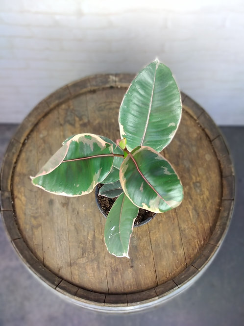 Ficus Ruby - Variegated Rubber Plant