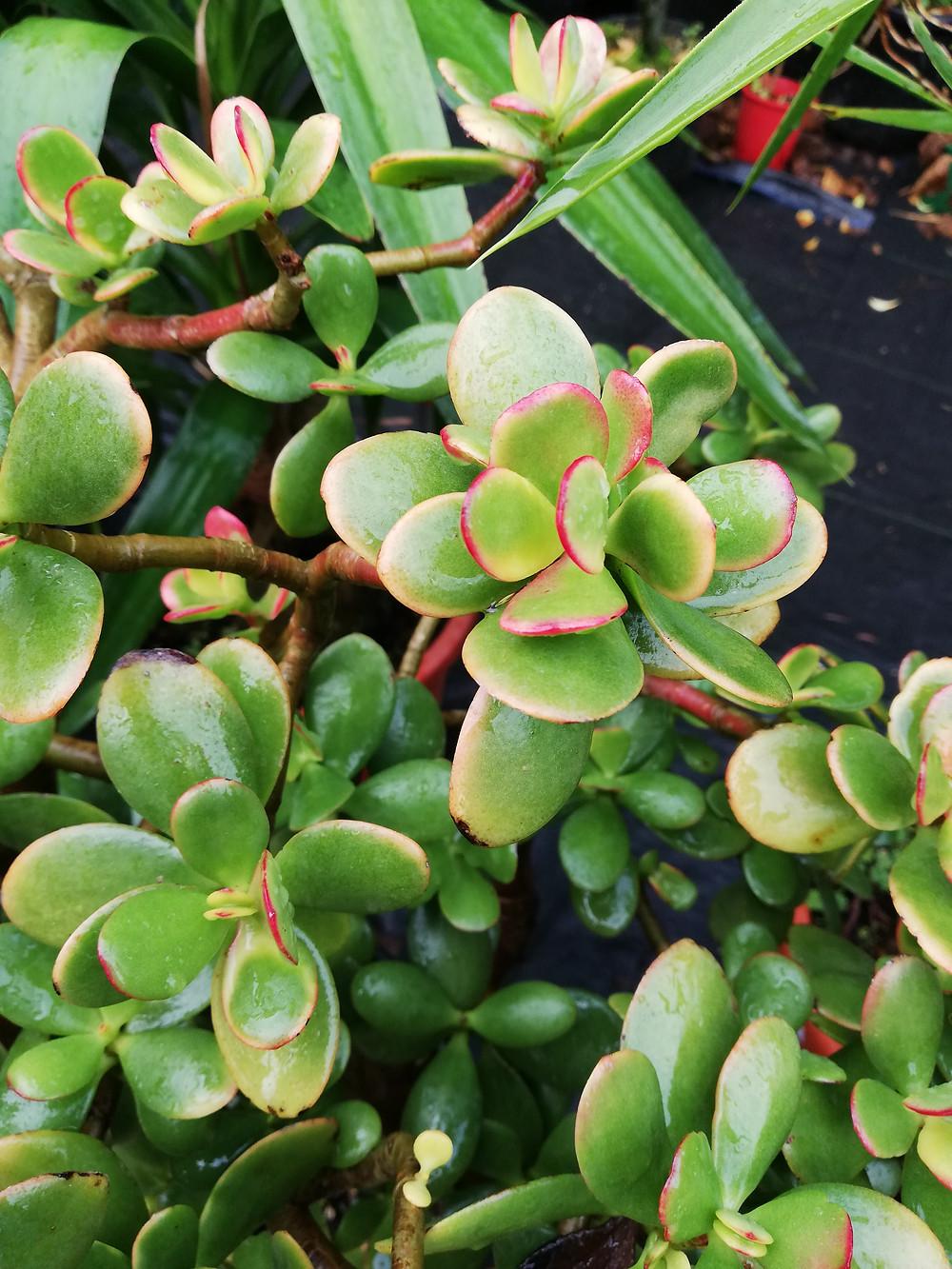 crassula ovata jade plant pink leaves