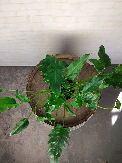 Ex-Rental Philodendron Xanadu (small)