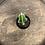 Thumbnail: Mini Castle Cactus