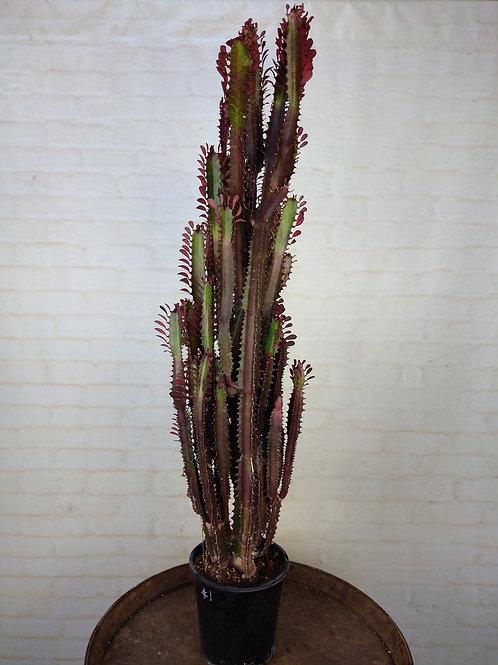 Large Euphorbia Trigona